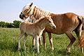 Pferde und Fohlen in Rauenberg